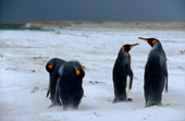 King penguins, Aptenodytes patagonicus, at Volunteer Point.