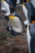 King Penguin, Aptenodytes patagonicus, with chick. Falkland Islands.