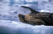 Seal on an ice floe. Antarctica.