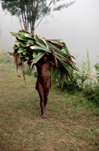 Yali man carries leaves from a garden. Irian Jaya, Indonesia. 1990