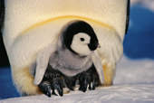 An Emperor Penguin chick aged about 12 weeks. Windy Cove, Weddell Sea, Antarctica.