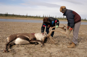 Inuit hunters butcher a caribou on the bank of the Anderson River. N.W.T. Canada. 1996