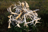A pile of mixed antlers, Moose and Caribou in the North West Territories. Canada. 1996