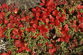 Red berries of Mountain Cranberry & red leaves of Arctic Bearberry. NWT. Canada. 1996