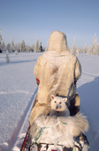 Dik, a Sami reindeer herder's dog, travels behind his owner on a snowmobile. Lovozero, Murmansk, NW Russia. 2005