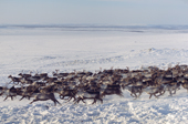 A Sami reindeer herd at their winter pastures near Lovozero on the Kola Peninsula. NW Russia. 2005