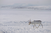A reindeer at its winter pastures near Lovozero on the Kola Peninsula. NW Russia. 2005