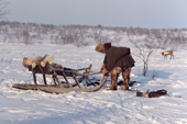 Velodia Dirkatch, a Sami reindeer herder from Lovozero, makes adjustments to his sled. Murmansk, NW Russia. 2005