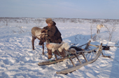 Velodia Dirkatch, a Sami reindeer herder from Lovozero, harnesses a draught reindeer to his sled. Murmansk, NW Russia. 2005