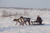 Velodia Dirkatch, a Sami  man from Lovozero, driving a reindeer sled. Murmansk, NW Russia. 2005