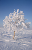 A birch tree covered in hoar frost and snow on the tundra near Lovozero in the winter time. Murmansk, NW Russia. 2005