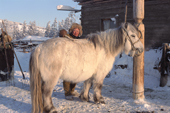A Yakut herder combs ice from a horse in winter at Korban. Yakutia, Siberia, Russia.