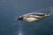 Gentoo Penguin swims by flying underwater, the fastest penguin underwater, they can go at 36kmph or 22 mph. Subantarctica. C