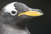 Gentoo penguin portrait clearly shows the white headbar and yellow beak. C