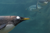 Portrait of Gentoo penguin as it flies underwater. The fastest swimming penguin, reaching 36kmph (22.3mph) it lives in Antarctic and sub Antarctic waters. C