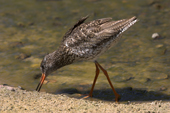 Redshank feeding at the water's edge. Living Coasts.