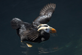 Male Tufted Puffin stretches his wings. Living Coasts To A4.