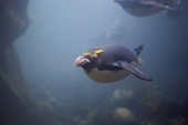 Macaroni Penguins swimming underwater at Living Coasts. UK.