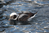 Long-tailed Duck in breeding plumage displays. Living Coasts
