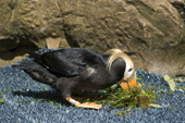 Male tufted Puffin collects green nesting material to take to his burrow. Living Coasts.