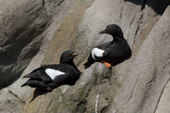 Pigeon Guillemots in summer plumage call to each other as they rest on a rock. Living Coasts.