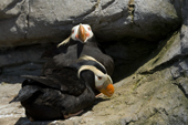 Tufted Puffin male pays court to his mate in the spring. Living Coasts.