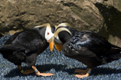 Captive Tufted Puffin male pays court to his mate in the spring. Living Coasts.